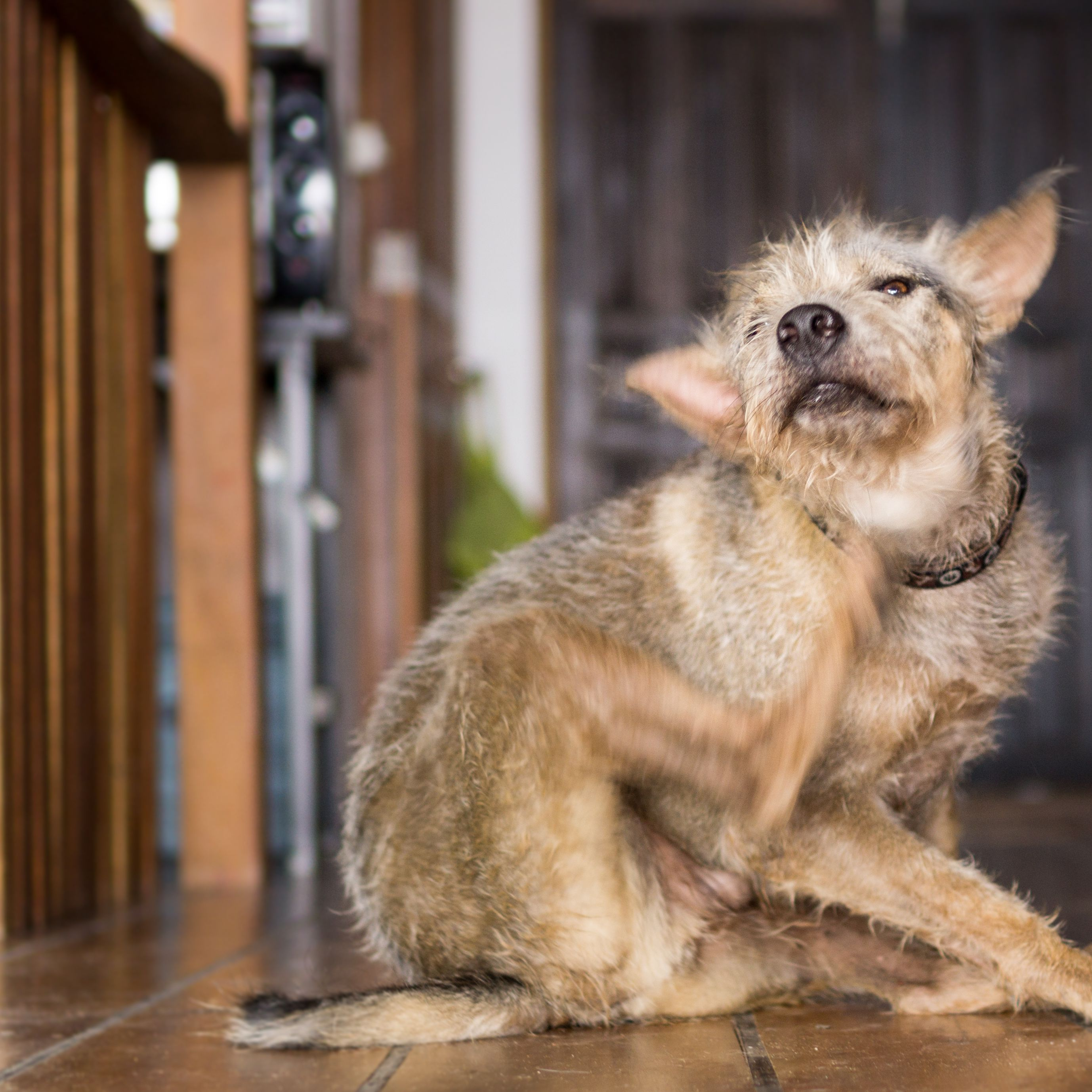 The Best Ways to Get Rid of Fleas in the House and Yard