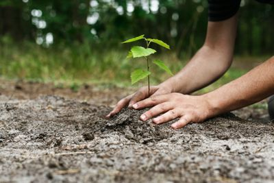 Person plants a young tree in the ground.