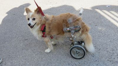 Small dog using wheelchair on hind legs looks at owner