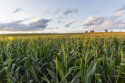 The sunsets over cornfields