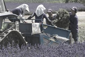 Workers harvesting lavender in Japan