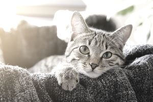 Domestic cat lies in a basket