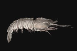 Learn About Rock Shrimp in Florida