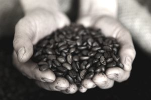 two hands holding a handful of Guatemalan Coffee Beans