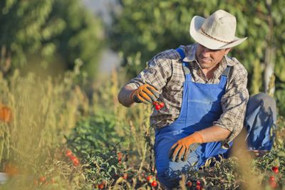 A male farmer dressed in blue coveralls kneels in a field and inspects a bunch of cherry tomatoes