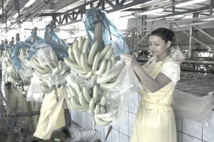 banana packaging plant