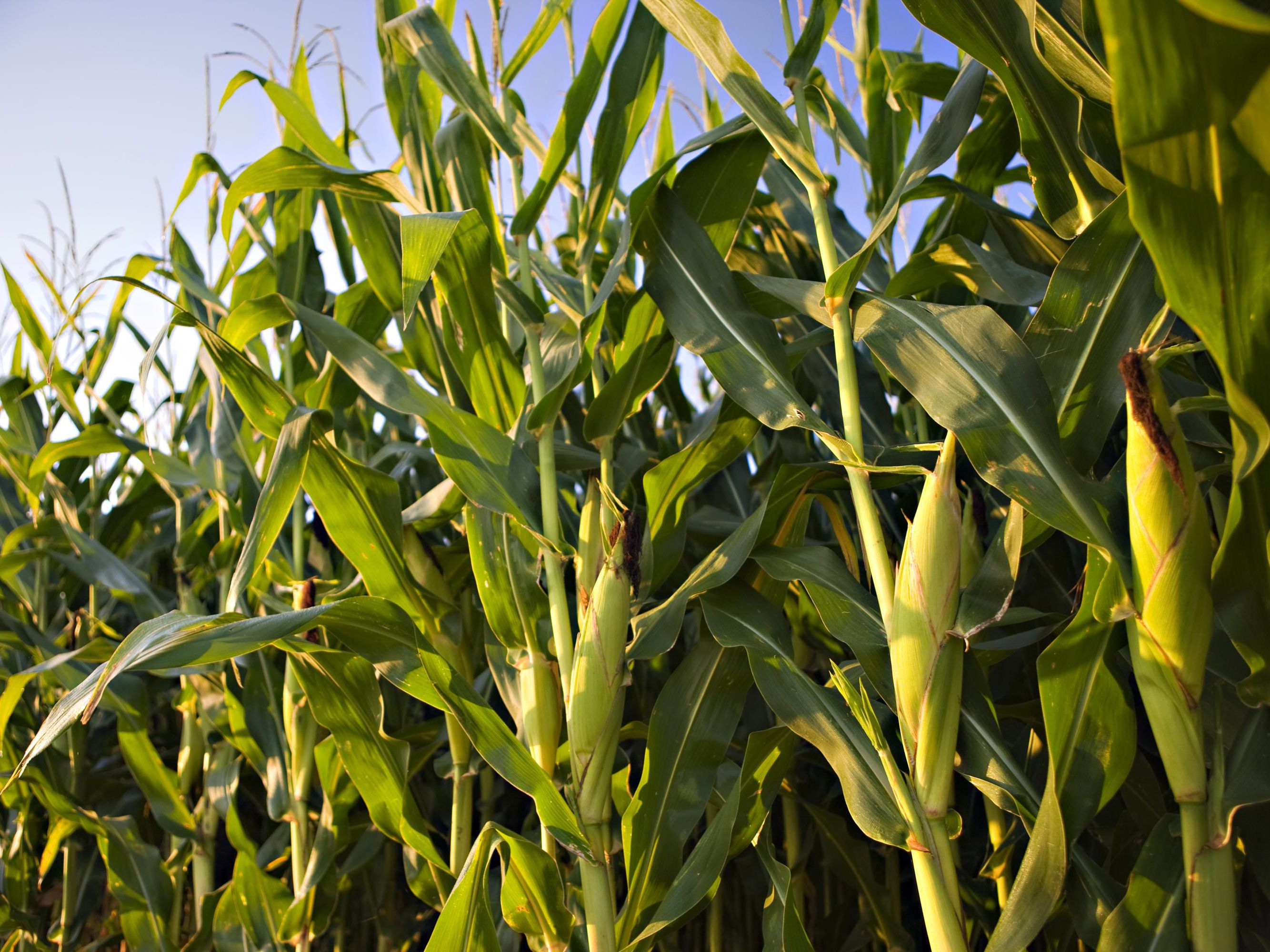 Corn Crop Planting And Harvest Seasons