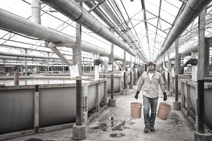 A man carrying buckets of feed between raised water tank breeding areas in a large fish farm building interior.