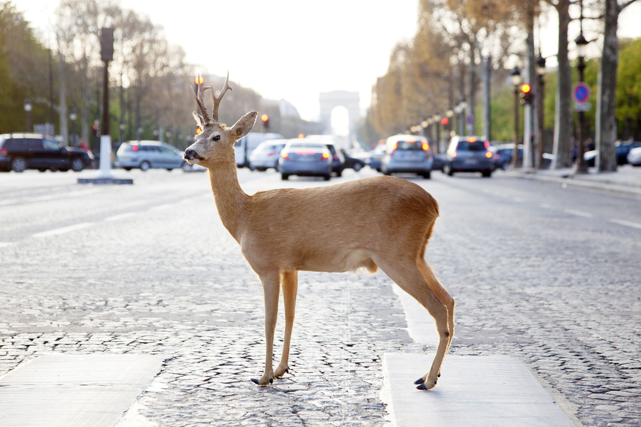 High Risk Auto Insurance >> Deer Accidents and Their Effect on Car Insurance Claims