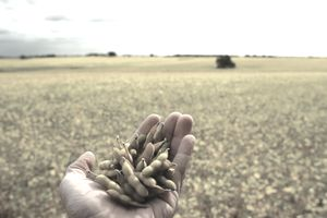 a hand holding soybeans