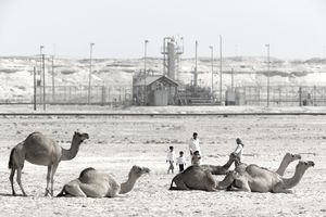 camels in front of oil reserves