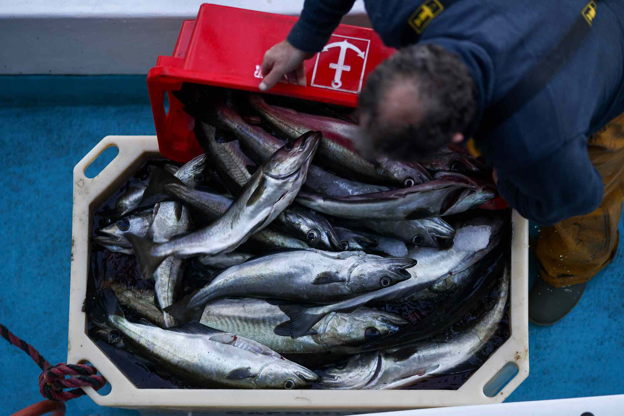 Fishing worker placing fish in a tote to be sold after Bexit